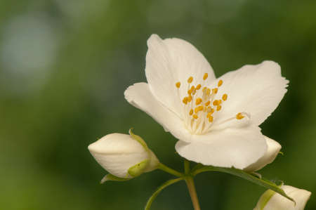 Philadelphus coronarius photo