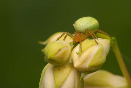 cucurbitina: Araniella cucurbitina