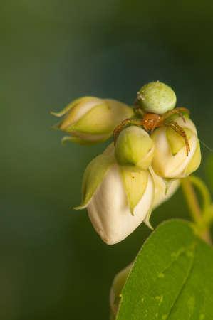 Araniella cucurbitina