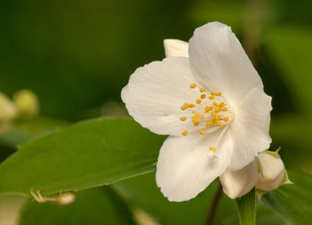Philadelphus coronarius Stock Photo - 20167764
