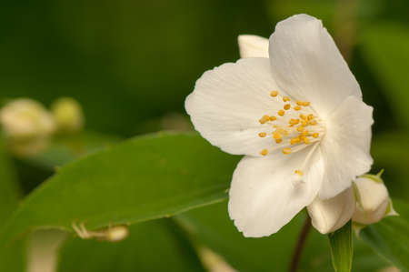 Philadelphus coronarius Stock Photo - 20167753