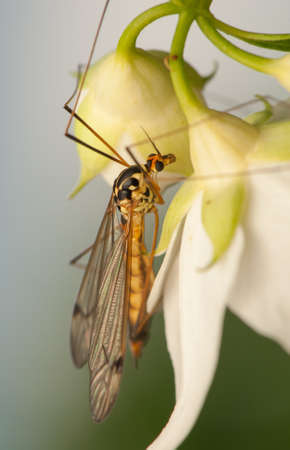 philadelphus coronarius: Nephrotoma