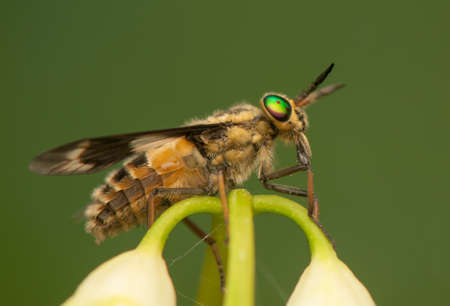 chrysops: Chrysops Stock Photo
