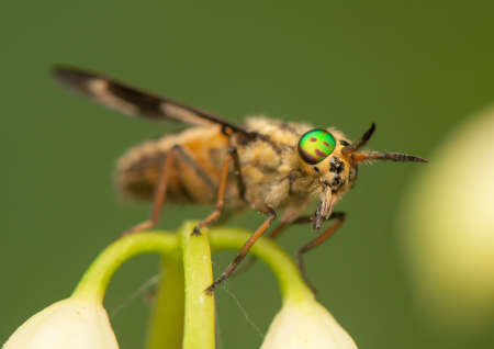 horsefly: Chrysops Stock Photo