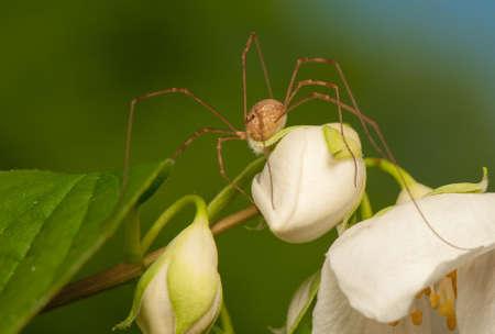 phalangida: Opiliones