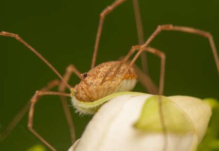harvestmen: Opiliones