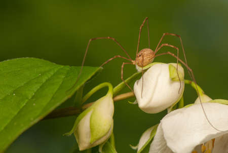 daddy long legs: Opiliones