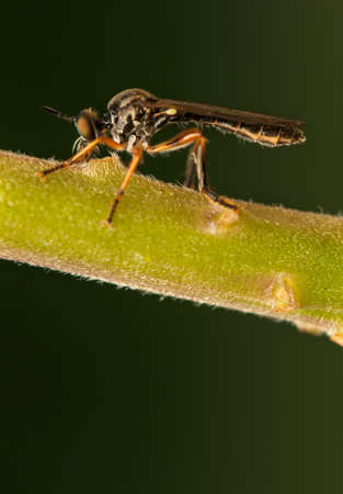 asilinae: Dasypogoninae