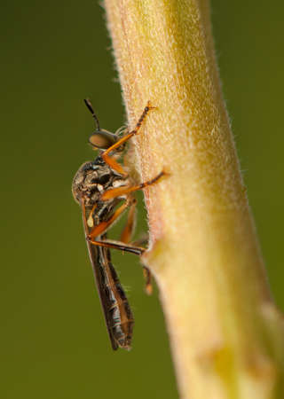 Dasypogoninae photo