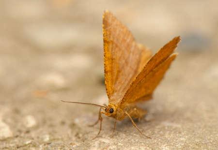 Macaria brunneata