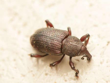 hylobius: Hylobius transversovittatus
