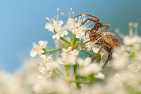 nursery web spider: Pisaura mirabilis