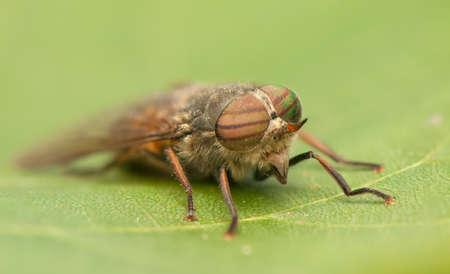 tabanidae: Fly
