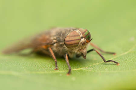 insecta: Fly