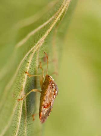 insecta: Elasmucha grisea Stock Photo