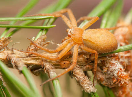 Philodromus fuscomarginatus Stock Photo - 20405373