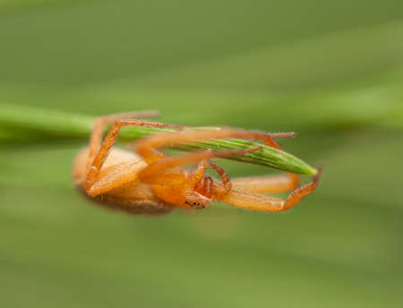 Philodromus fuscomarginatus photo