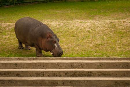 amphibius: Hippopotamus amphibius