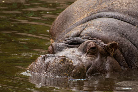Hippopotamus amphibius photo