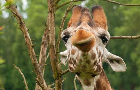 giraffa: Giraffa camelopardalis