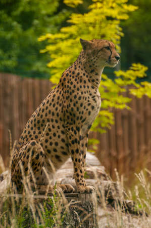 Acinonyx jubatus photo