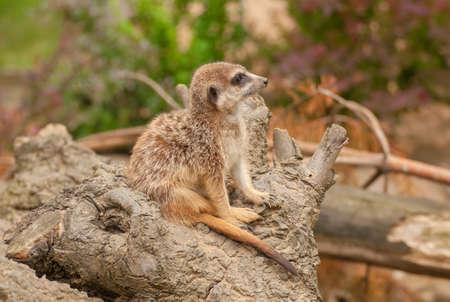 suricatta: Suricata suricatta