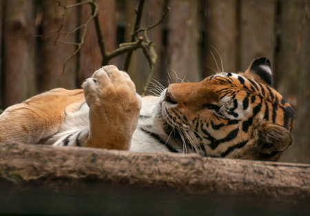 Panthera tigris photo