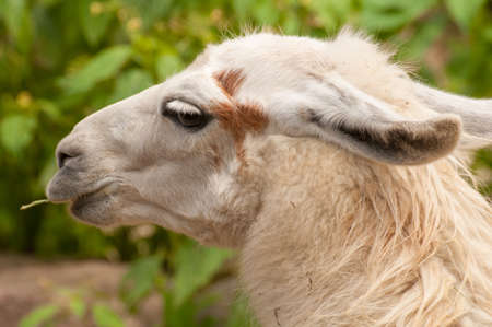 the lama: Lama glama