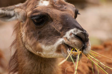 Lama glama eating photo