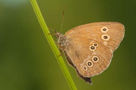 hyperantus: Aphantopus hyperantus