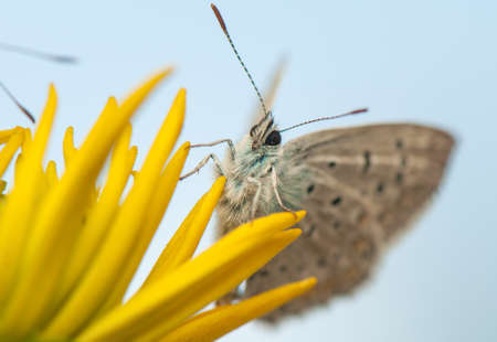 Polyommatus icarus Stock Photo - 21128389