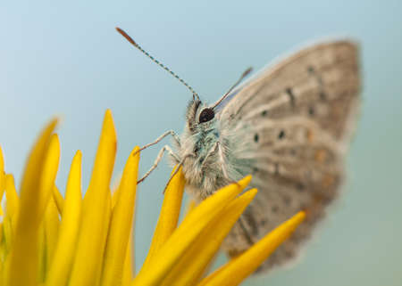 Polyommatus icarus Stock Photo - 21128390