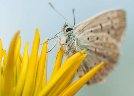 Polyommatus icarus Stock Photo - 21128391
