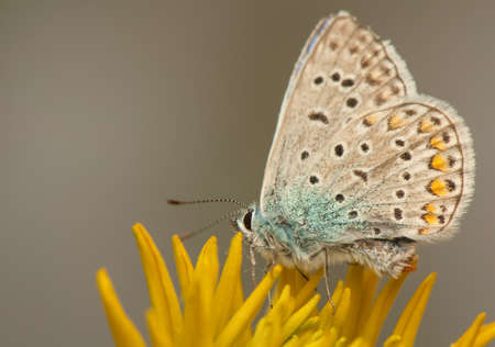 Polyommatus icarus Stock Photo - 21128393