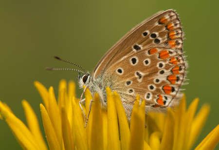 Polyommatus icarus Stock Photo - 21128395