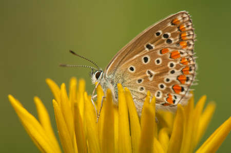 Polyommatus icarus Stock Photo - 21128396