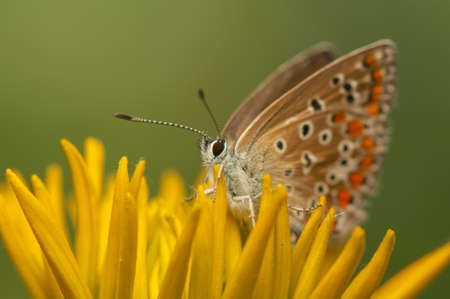 Polyommatus icarus Stock Photo - 21128397
