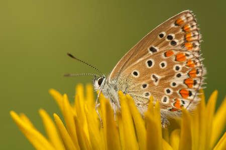 Polyommatus icarus Stock Photo - 21128398