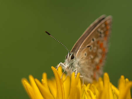 Polyommatus icarus photo