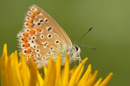 Polyommatus icarus Stock Photo - 21128421
