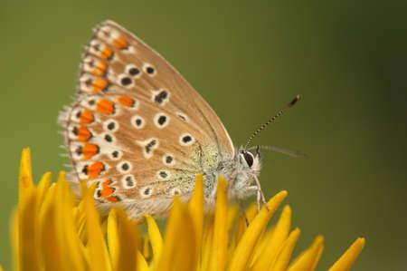 Polyommatus icarus Stock Photo - 21128424