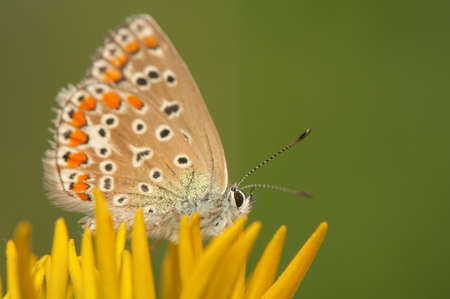 Polyommatus icarus Stock Photo - 21121830