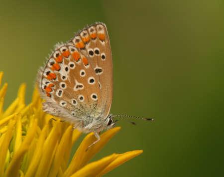 polyommatus icarus: Polyommatus icarus