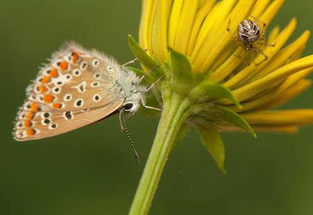 Polyommatus icarus and Metellina segmentata Stock Photo - 21128435