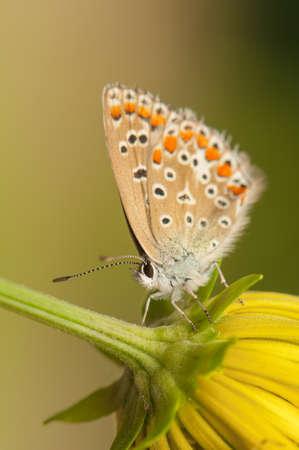 Polyommatus icarus Stock Photo - 21128436