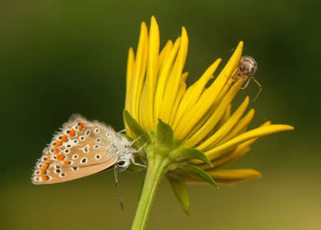 Polyommatus icarus and Metellina segmentata photo