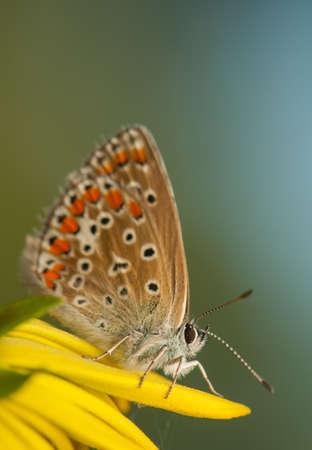 icarus: Polyommatus icarus