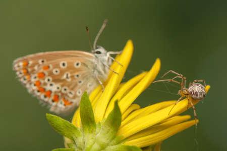 clse up: Polyommatus icarus and Metellina segmentata
