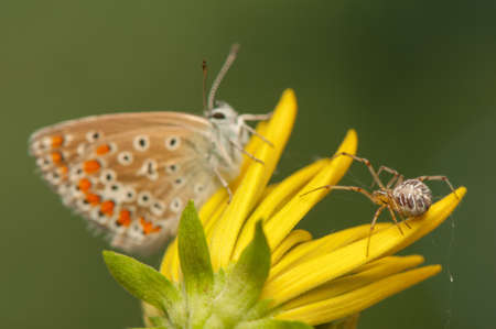 polyommatus icarus: Polyommatus icarus and Metellina segmentata