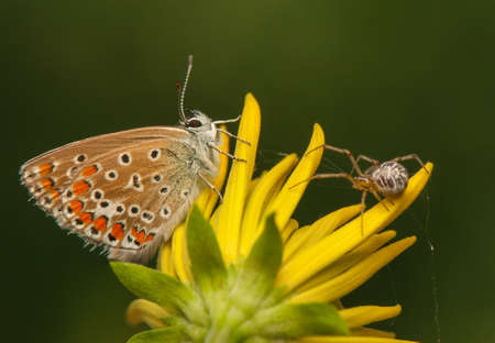 Polyommatus icarus and Metellina segmentata Stock Photo - 21128509